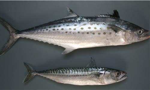 Skumbriya i makrel